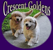 crescent golden retrievers halleyberry